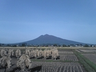 稲の乾燥と岩木山